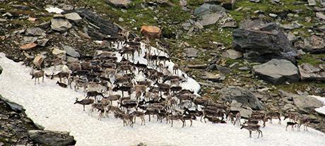 Norvēģija ziemeļbrieži
